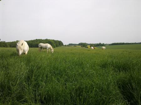 l'élevage de chevaux