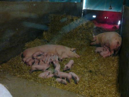 l'élevage de porc